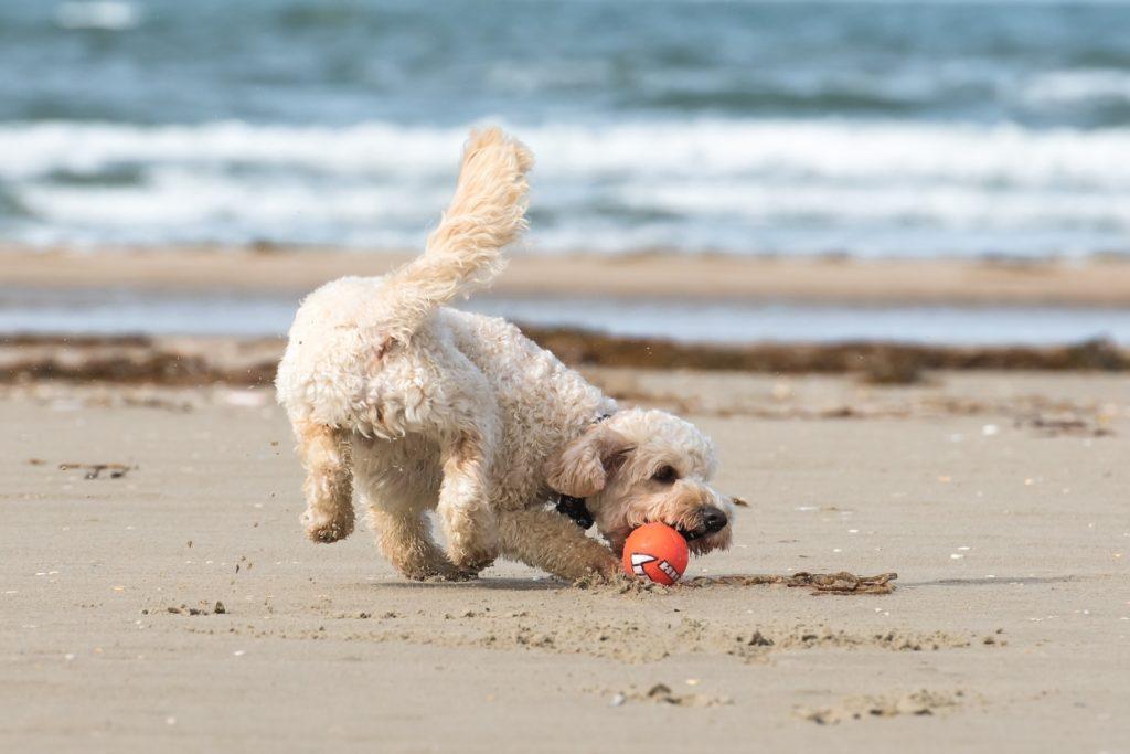 Hund spilt mit Ball am Strand
